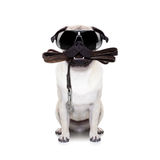 Leash dog ready for a walk. Pug dog with leather leash ready for a walk with owner,with cool sunglasses,  isolated on  white background Stock Photography