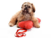 Leash and Pillow Shi Poo Royalty Free Stock Image