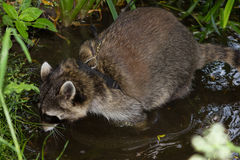 A leashed Raccoon sniffles in water. A leashed Raccoon sniffles in water to find some interesting things Stock Photography