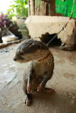 The leashed sea otter. A leashed sea otter as a cruel example on how people try to domesticate wild animals and ignore the freedom of creatures else than royalty free stock image