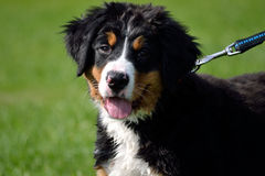 Leashed small Bernese Mountain Dog Stock Photos