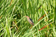 Least Bittern in cattails Royalty Free Stock Photography