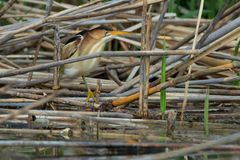 Least Bittern - Ixobrychus exilis. Least Bittern slowly moving among the dead reeds, looking for a fish to eat. Colonel Samuel Smith Park, Toronto, Ontario Royalty Free Stock Image