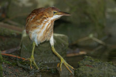 Least Bittern Stock Image