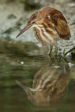 Least Bittern. Juvenile Least Bittern fishing along the shore of a small pond Stock Images