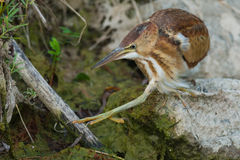 Least Bittern Royalty Free Stock Photos
