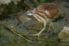 Least Bittern Royalty Free Stock Photography