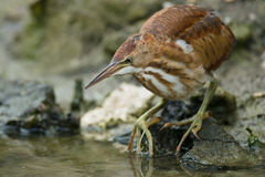 Least Bittern Stock Photo