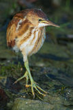 Least Bittern Stock Images
