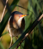 Least Bittern Royalty Free Stock Image