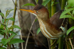 Least Bittern. Perched on a branch growing out of the marsh Stock Photo