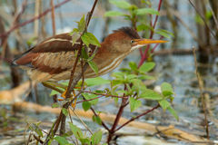 Least Bittern. Perched over the water looking for a meal Stock Images
