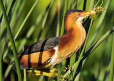 Least Bittern. The Least Bittern photographed in the wild wetlands of south Florida Royalty Free Stock Images