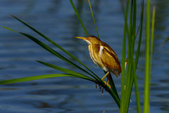 Least bittern Royalty Free Stock Images