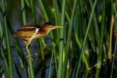 Least bittern Stock Photos