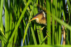 Least bittern, viera wetlands Royalty Free Stock Photography