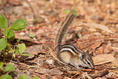 Least Chipmunk Royalty Free Stock Photos