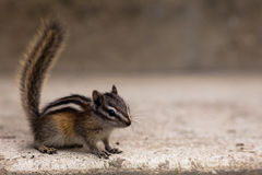 Least Chipmunk Stock Image