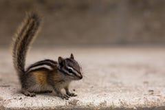Least Chipmunk. Laest chipmunk (Tamias minimus) closeup Stock Image