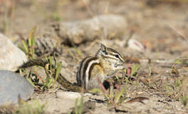 Least chipmunk on dirt with grass eating a seed Royalty Free Stock Images