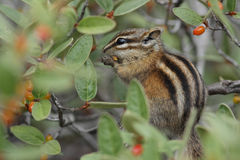 Least Chipmunk eating a berry - Jasper National Park, Canada Royalty Free Stock Photos