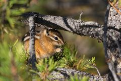 Least Chipmunk Eating Nuts Royalty Free Stock Photography