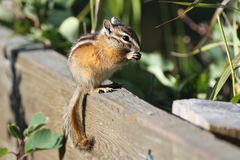 Least Chipmunk Eating a Seed - Alberta, Canada Royalty Free Stock Photography