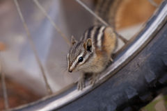 Least chipmunk mountain biking Stock Photos