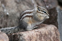 Least Chipmunk on a Rock Stock Image
