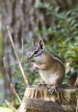 Least chipmunk on stump with tree and fern in background Royalty Free Stock Photo