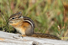 Least Chipmunk (Tamias minimus) Royalty Free Stock Photography