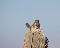 Least Chipmunk, Tamias minimus Royalty Free Stock Images