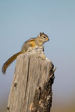 Least Chipmunk, Tamias minimus Stock Photo