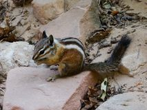 Least chipmunk (Tamias minimus) eating and sitting on a stone Stock Photos