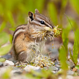 Least Chipmunk Tamias minimus foraging dandelions. Cute little Least Chipmunk Tamias minimus foraging between green plants for dandelion buds Royalty Free Stock Photo