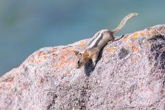 Least Chipmunk Tamias minimus. Least Chipmunk, Jasper National Park Stock Images