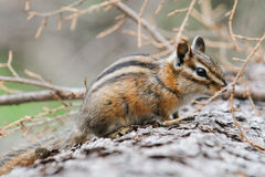 Least Chipmunk (Tamias minimus) Stock Images