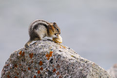 Least Chipmunk (Tamias minimus) Royalty Free Stock Photos