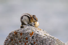 Least Chipmunk (Tamias minimus) Stock Photography