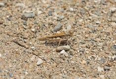 Least desert grasshopper on stony sand Stock Photos