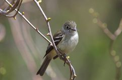 Least Flycatcher ( Empidonax minimus). Close up of a Least Flycatcher perched on a twig during spring migration royalty free stock photography