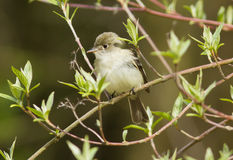 Least Flycatcher, Empidonax minimus Stock Photos