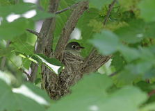 Least Flycatcher Nest Stock Photos