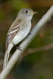 Least Flycatcher Royalty Free Stock Images