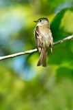 Least Flycatcher Royalty Free Stock Photo