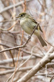 Least Flycatcher Royalty Free Stock Image