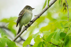 Least Flycatcher. Perched on a branch Royalty Free Stock Images