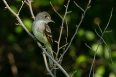 Least Flycatcher. Perched on a branch Stock Images
