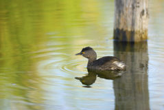 Least Grebe. On a tranquil pond Royalty Free Stock Photo