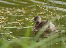 Least Grebe. Photograph of a tiny least grebe with a striking yellow eye floating amongst emergent vegetation in a south Texas wetland Royalty Free Stock Images